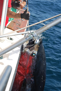 Giant tuna, Deep sea fishing boat in Marbella.
