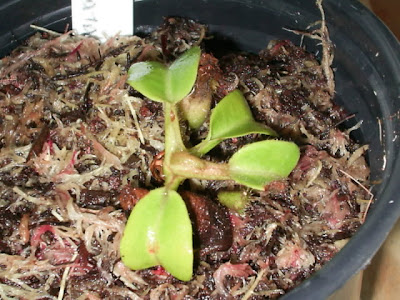 muda de nepenthes