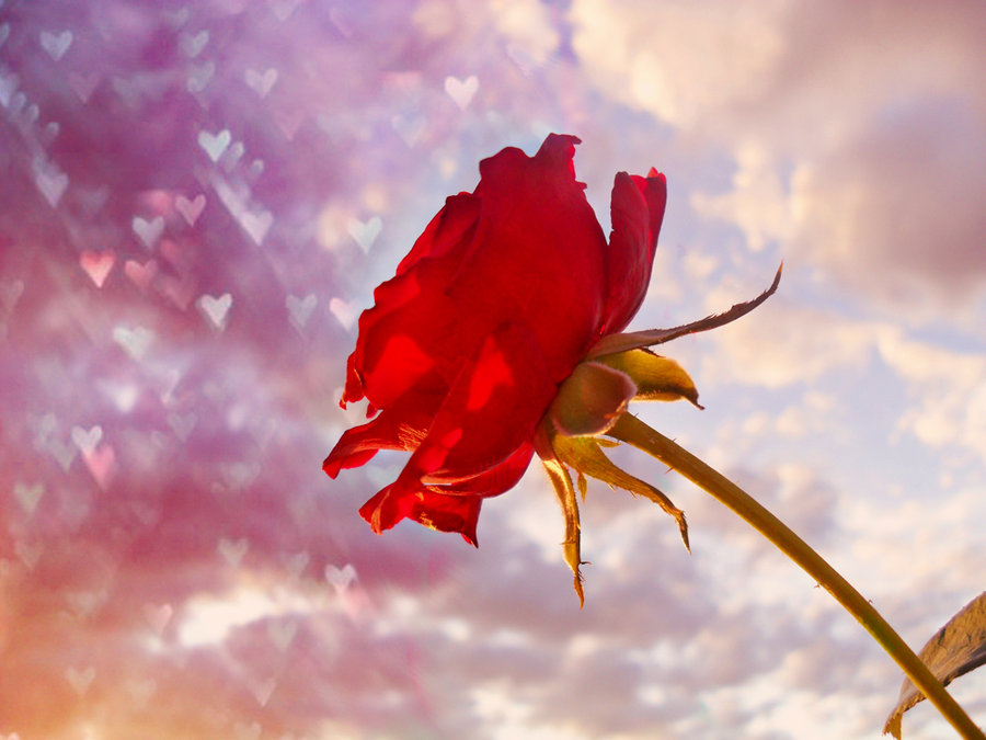 Lovely Rose Wallpaper Hd Tumblr For Walls Mobile Phone Widescreen Desktop Full Size Download 2013