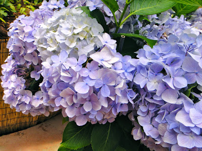 Purple and white hydrangea at the Garden of Morning Calm South Korea