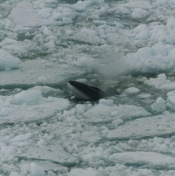 Minke whale (Balaenoptera bonaerensis) in Ross Sea