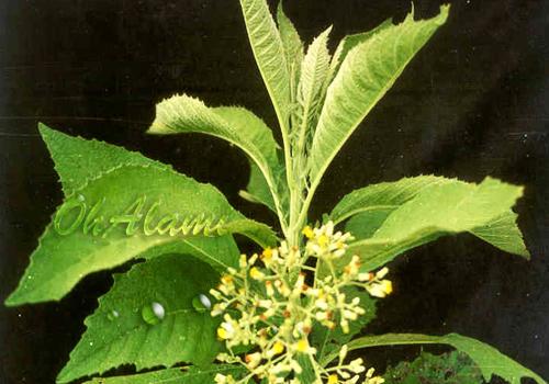 Manfaat Tumbuhan | Khasiat Tanaman Sembung Untuk Kesehatan