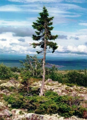 El árbol más antiguo del Mundo. pícea solitaria noruega