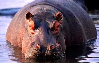 'Million-Year-Old' Hippos Looked and Acted Similar to Modern Hippos