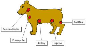 lymph node cancer in dogs
