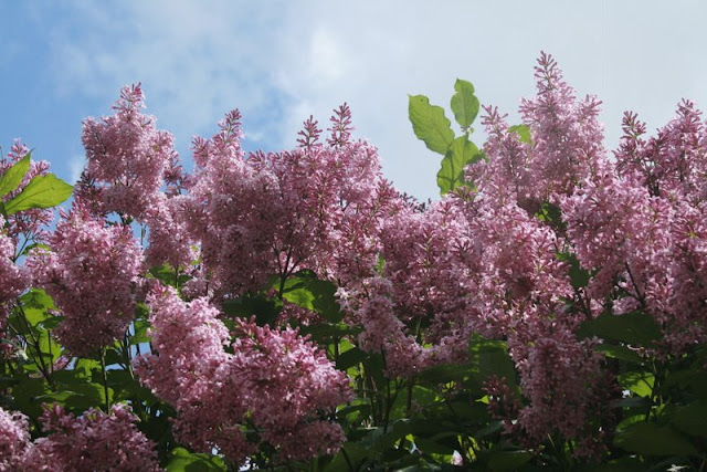 Spring Lilacs -- photo, Holly Massie, all rights reserved