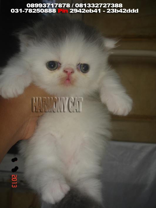 Hamster Dan Kucing Persia Murah Surabaya 08 01 2013 09