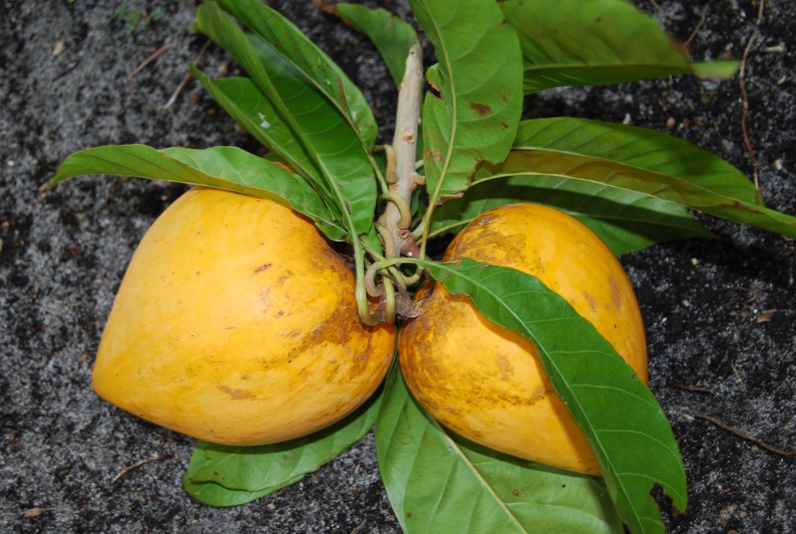 Helen A Lockey Its Egg Fruit Season In South Florida