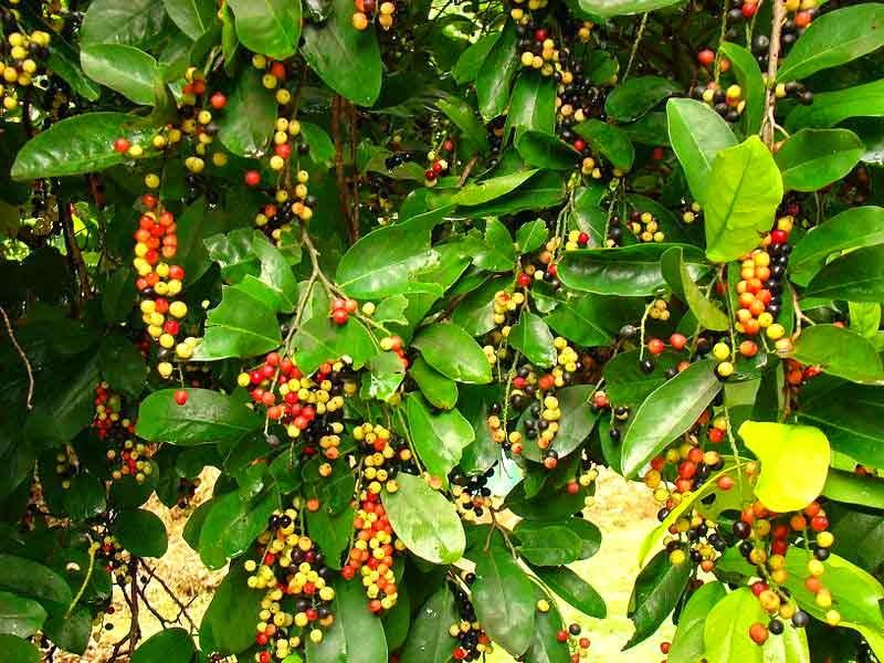 buah buni yang telah matang/masak obat ampuh tradisional alami darah tinggi