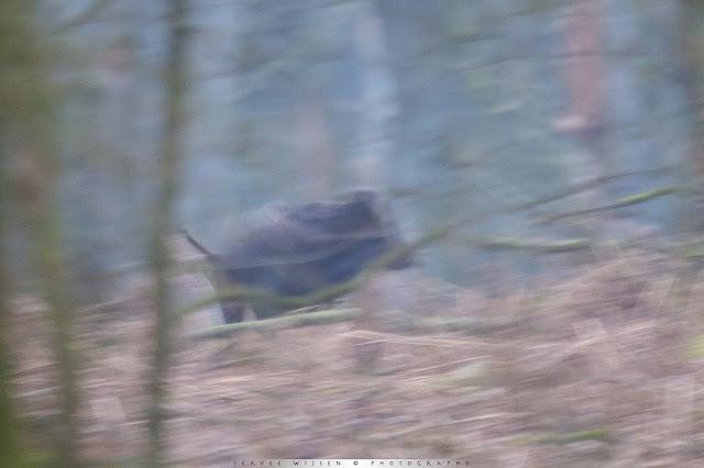 Everzwijn - Wild Pig - Sus Scrofa