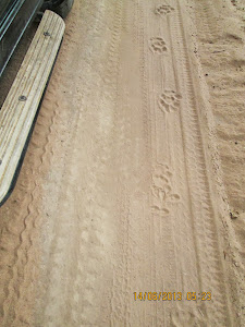 "Distinct ""TIGER PUG MARKS"" in ""Magdhi Zone"".Where are the tigers ?"