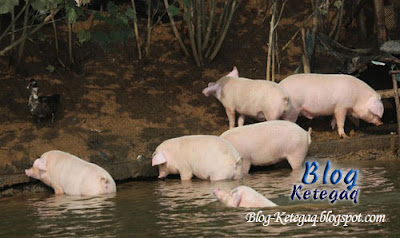 foto babi