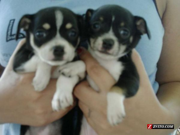 Cute Puppy Dogs Chihuahua Puppies Black And White