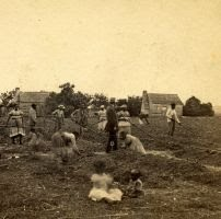 Women and Children at work in a cotton field