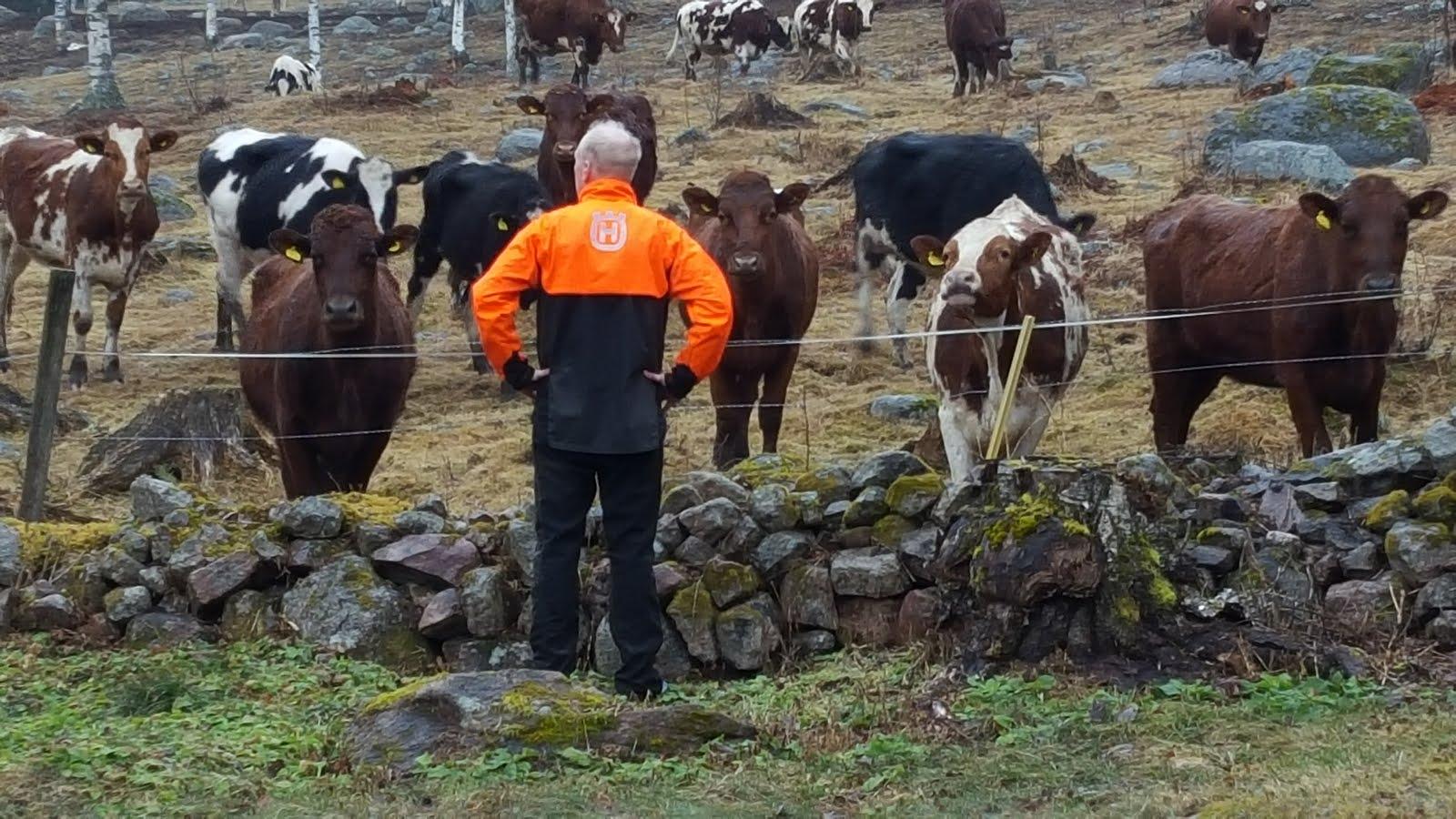 Korna hälsar på