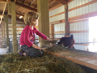 hay feeding in barn