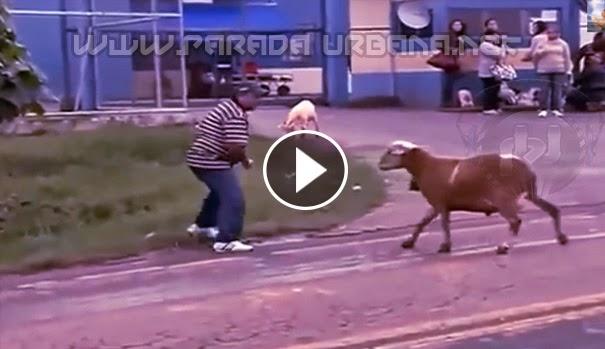 VIDEO CHISTOSO - Una Cabra , bien cabreada atacando a las Personas
