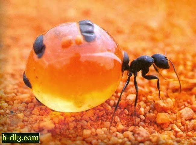 نمل يقوم بجمع العسل كما تجمعه النحل