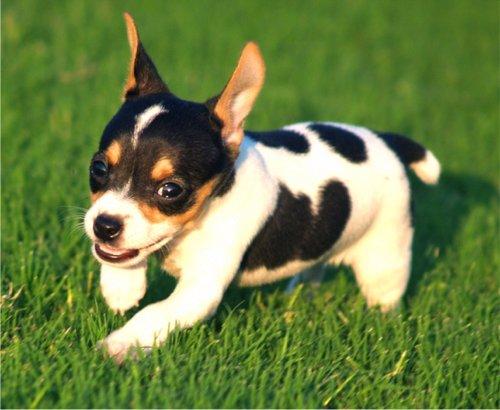 Rat Terrier Puppy Photos