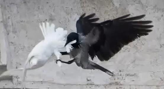cuervo ataca palomas del papa francisco