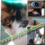 Selaput Putih Pada Mata Kucing