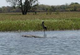 Croccodile in billaboing