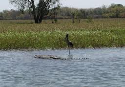 Croccodile in billaboing