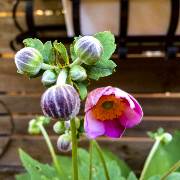 höstanemon, Anemone hupehensis