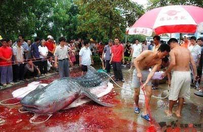 Ikan lele terbesar