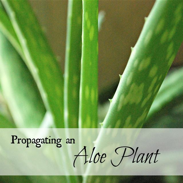 propagating an aloe plant oak hill homestead. Black Bedroom Furniture Sets. Home Design Ideas