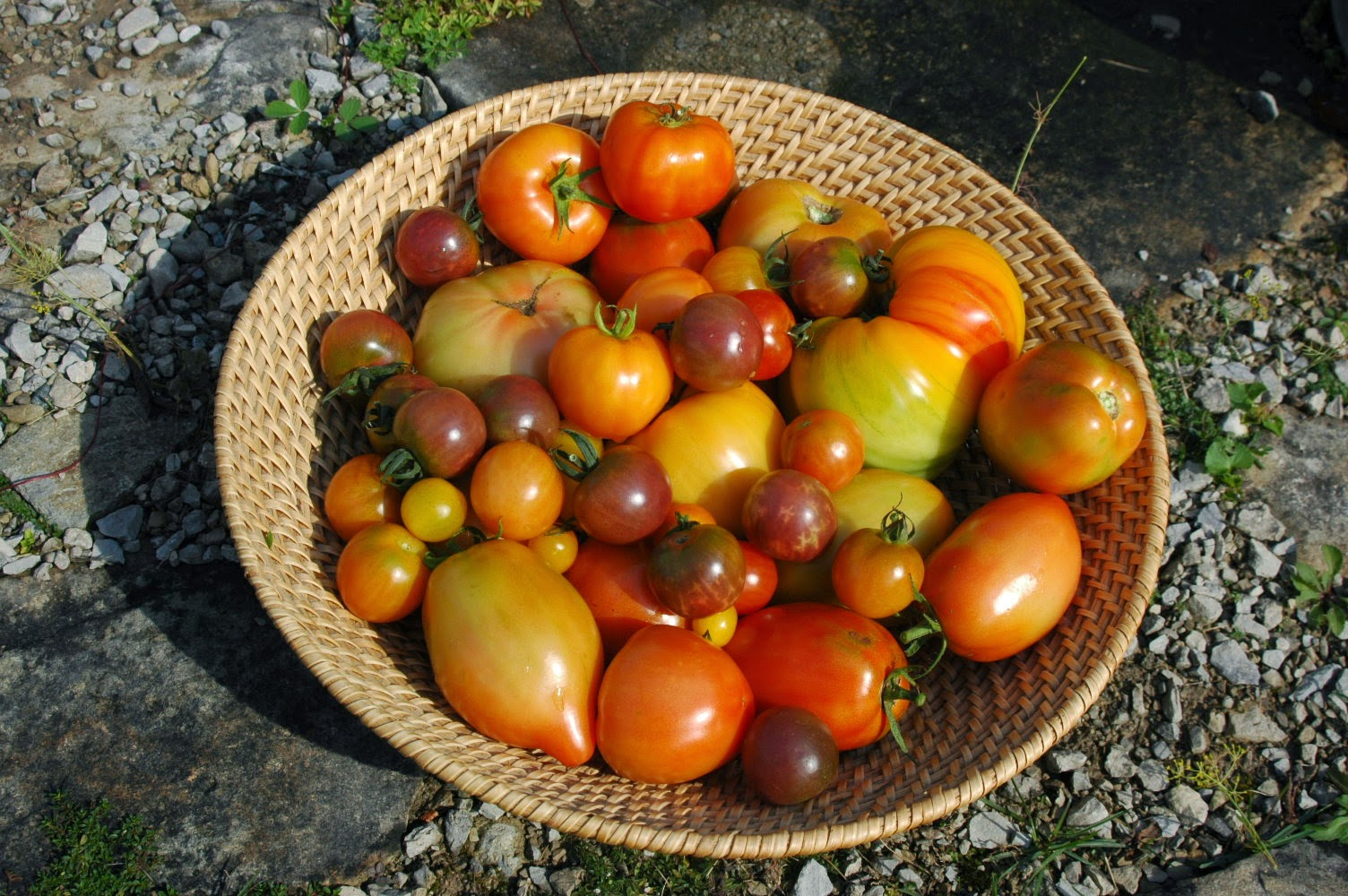 Roche Fleurie Garden: Tomatoes - 2014