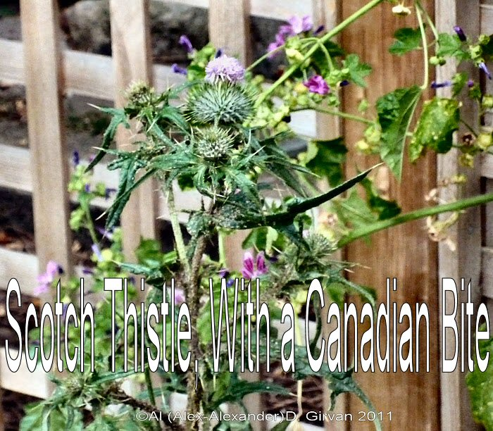 Scotch Thistle with a Canadian Bite.