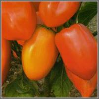 Сладкий перец сорт «Винни-пух»