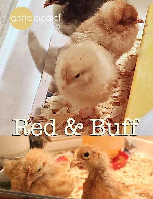 A heartrending story of the loss and survival of pet backyard chickens to a predator and what they taught their caretaker. Can you love a pet chicken similar to a pet cat or dog? You'll see the answer is: most definitely! | Story at I Gotta Create!