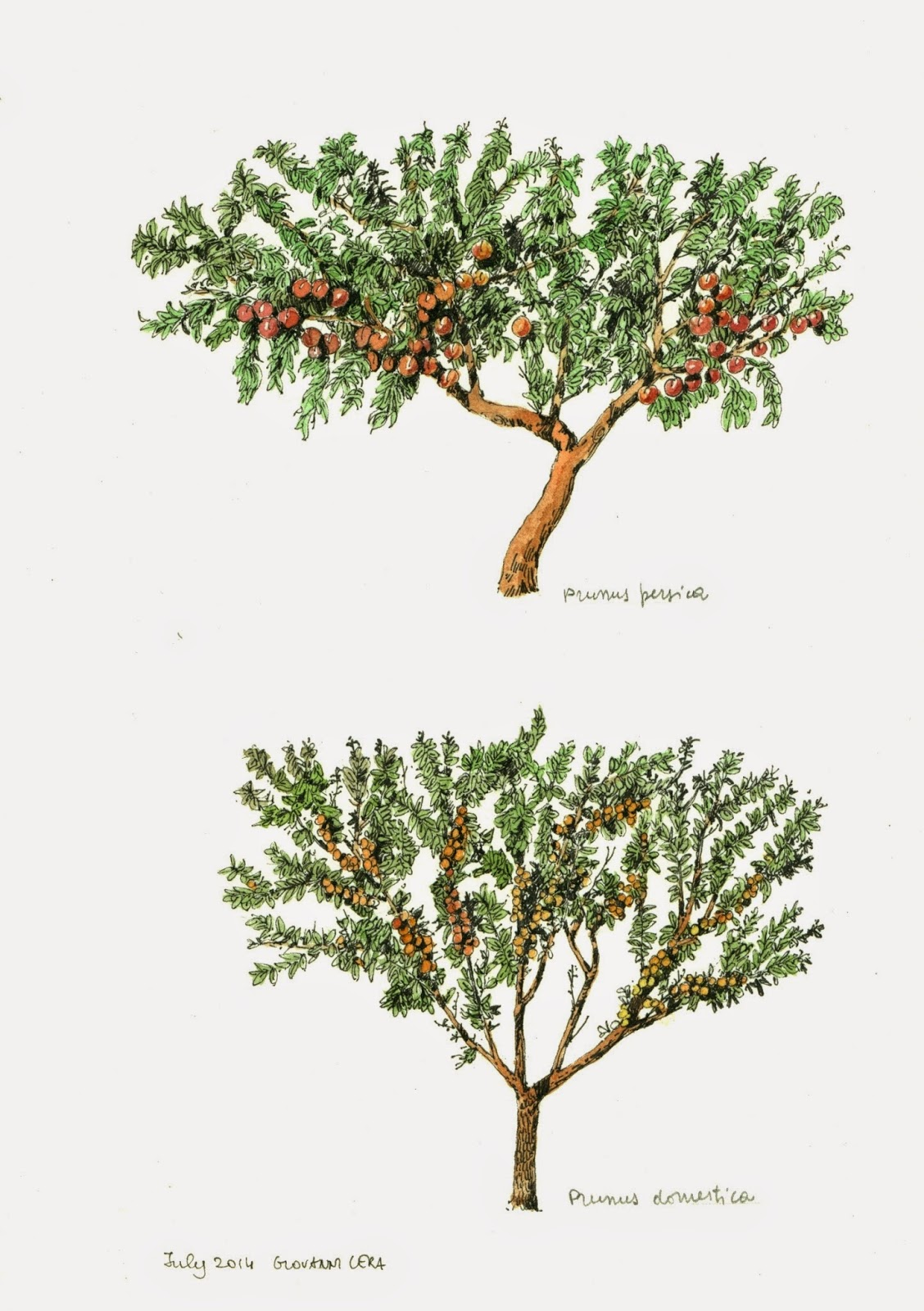 Gallery For > Peach Tree Drawing