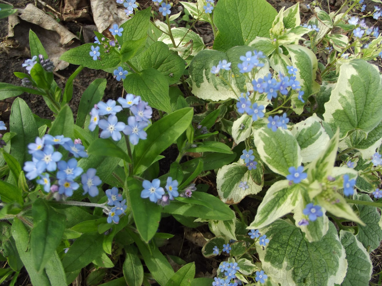 how to grow forget me nots indoors