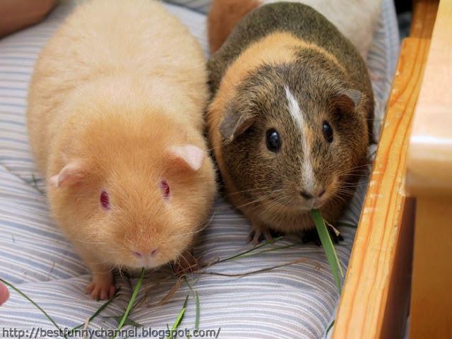 Guinea pigs eat.