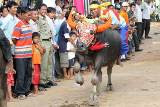 Buffalo racing attracts crowd for Pchum Ben