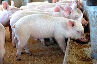 Pig_Feeding_Trough