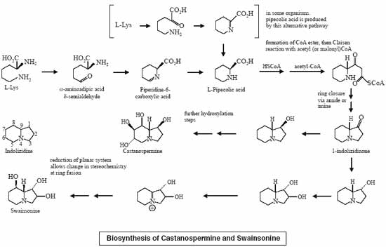 Biosynthesis of Castanospermine and Swainsonine