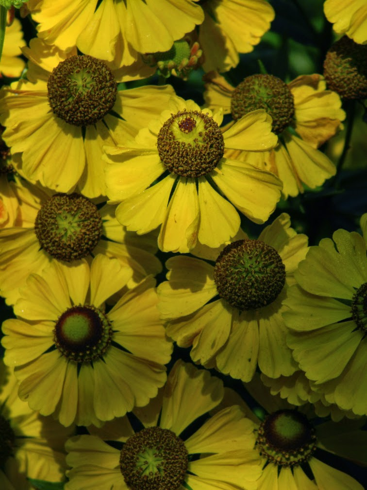 Helenium autumnale Sneezeweed by garden muses-not another Toronto gardening blog