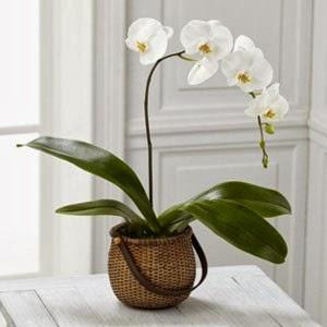 http://www.floristvancouver.com/shop/white-phalaenopsis-orchid/