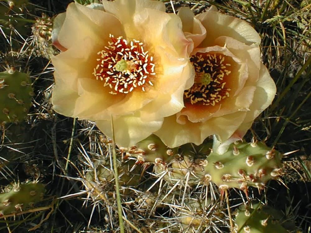 Flor de cacto - Flor da Sabedoria