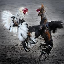 Supaya ayam merasa nyaman di dalam kandang