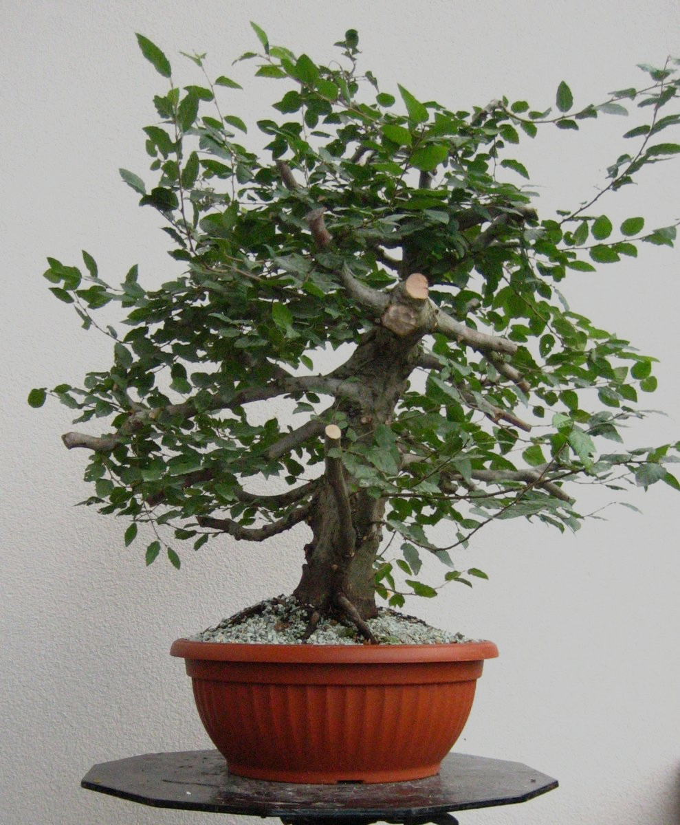 Maros bonsai blog