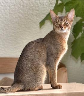 Abyssinian Cat Breeders Illinois
