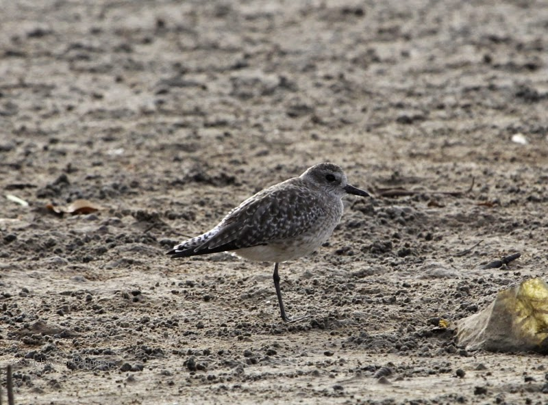 Little Stint on a mudflat in The Gambia