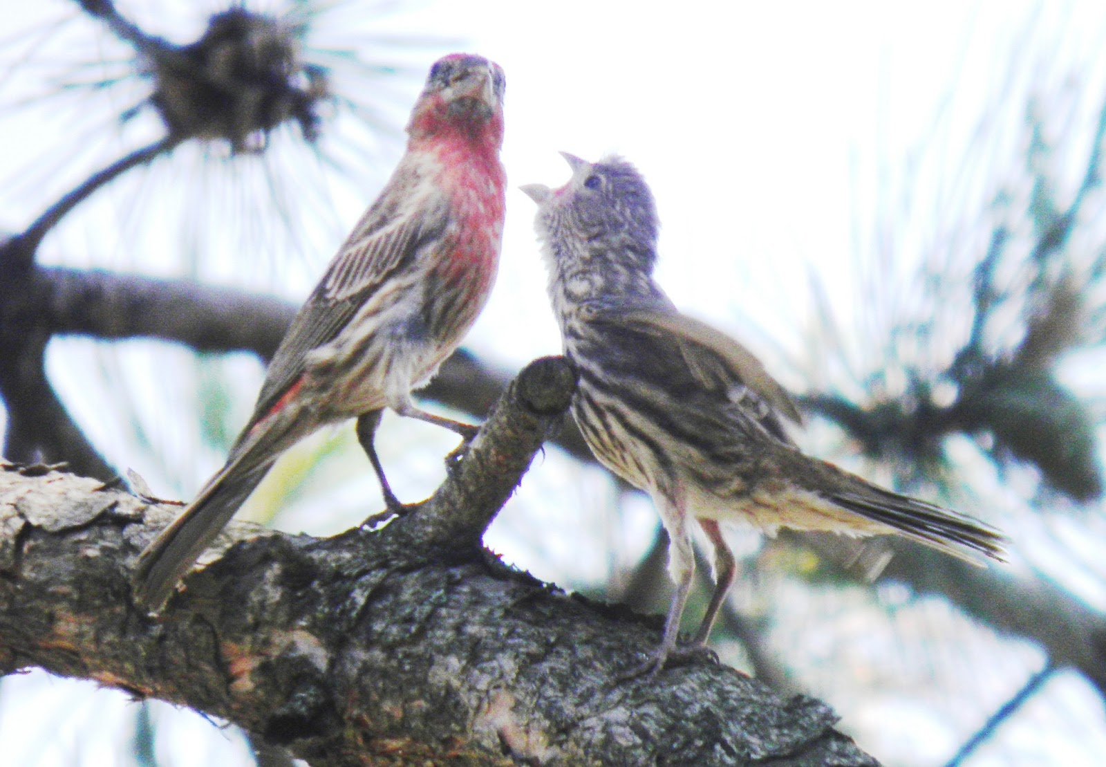 wild birds unlimited: the difference was between the house finch