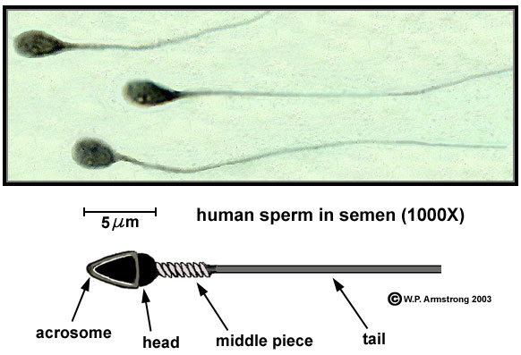 Of Carbs In Sperm