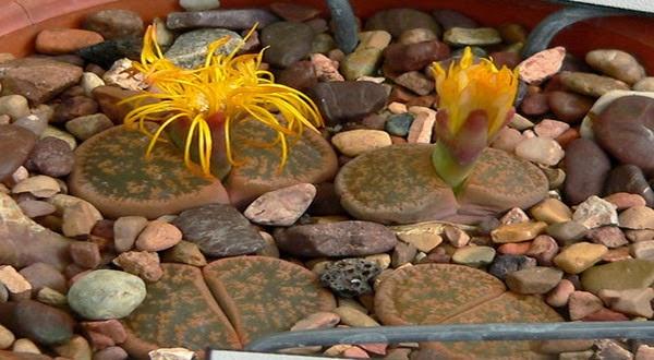 Tanaman Aneh dan Unik Ini Mirip Batu Ditemukan